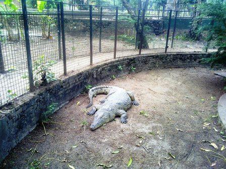 Le crocodile du musée vivant avec lequel il est possible de se photographier